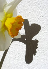 Daffodil - Peter Pan (Micheo) Tags: white blanco sol sunshine yellow wall pared shadows peterpan explore amarillo cal daffodil sombras narciso blueribbonwinner micheo abigfave naturefinest