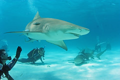 You can look, but you can't touch (schleprockfisher) Tags: ocean underwater sharks predators lemonshark fiercecreatures