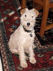 lakeland terrier rescue Lakeland Terrier Rescue Texas