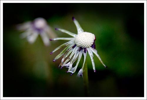 barto flower