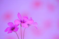 Blooming Pink (*Sakura*) Tags: pink flower macro japan interestingness purple explore sakura earlysummer excellence さくら 初夏 top20pink top20everlasting pinksorrel いもかたばみ