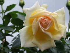 Rose is a rose is a rose is a rose 02.JPG