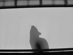 (Marchnwe) Tags: shadow white house black cat curtain ev beyaz kedi gölge perde siyah