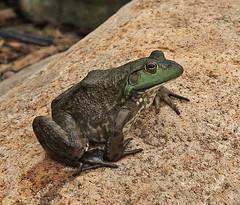 Mr Frog (michaelmatusinec) Tags: wisconsin pond frog digitalcameraclub spring2008 canoneos40d