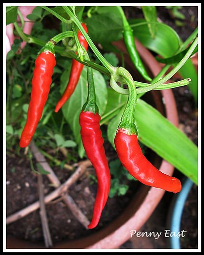 Long Red Cayenne Pepper
