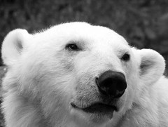 The One and Only (dfg photography) Tags: bear summer mercedes scotland edinburgh polarbear captivity carnivores ursusmaritimus naturelovers edinburghzoo animalsincaptivity digitalcameraclub carbonfootprint blackwhitephotos captiveanimals vulnerablespecies impressedbeauty onlythebestare june2008 itsazoooutthere spiritofphotography qualitypixels thewanderlust mercedesthepolarbear
