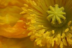 Mohn_310508_05 (alstroemeria1) Tags: schweiz pflanzen luzern gelb makro farben papaver papaveraceae projekte kriens blten amstutzstrasse pflanzensystematisch isageburtstag08