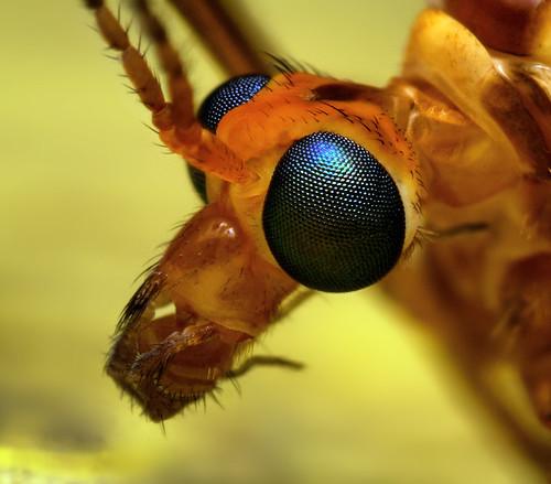 Tiger Crane Fly Head (Nephrotoma ferruginea)