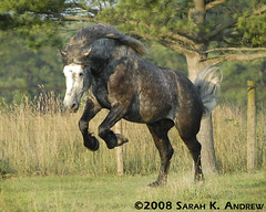 Atlas (Rock and Racehorses) Tags: horse playing grey play steel gray explore atlas buck leap gallop dapple percheron 6872 blueribbonwinner