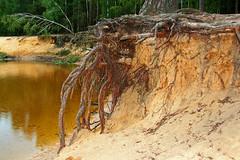 Roots (Pieter Musterd) Tags: canon sand beek lutte nederland thenetherlands zand delutte zandverstuiving lutterzand pieter007 canoneos400d pietermusterd holidayonbicycle2008