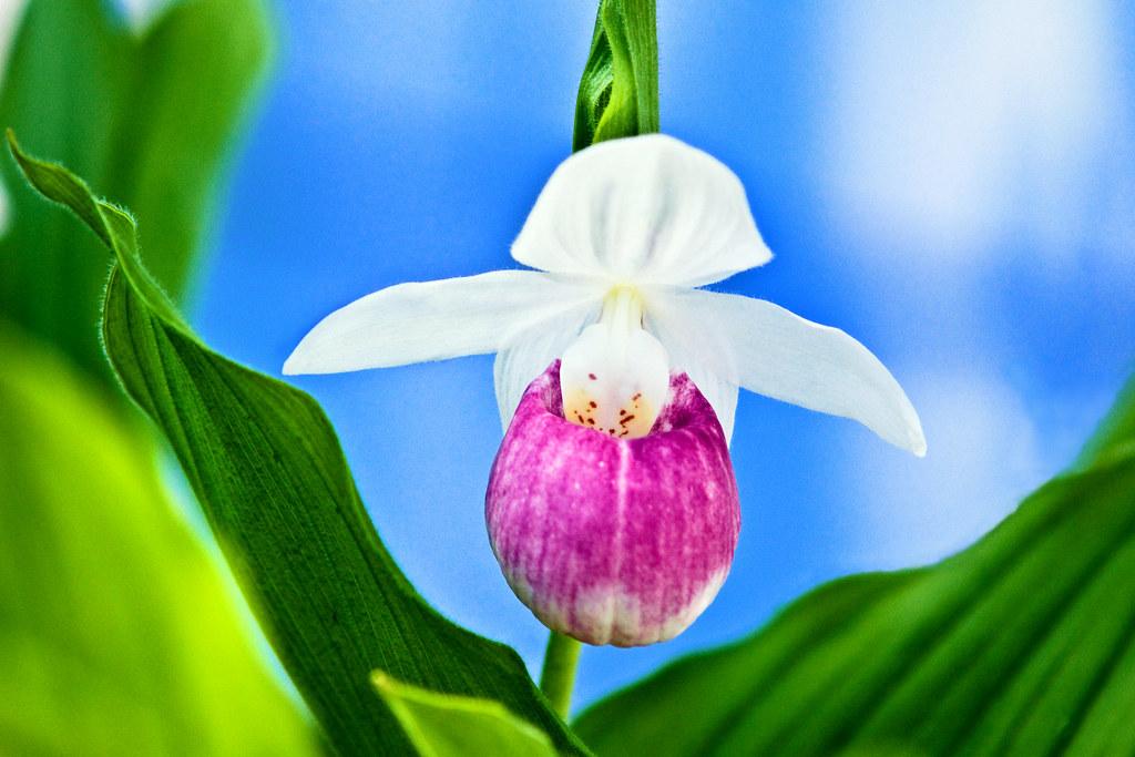 Lady Slipper Flower Picture Flower Picture Acorn Mule