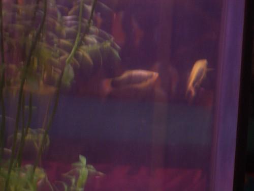 Red-Tailed Black Variatus