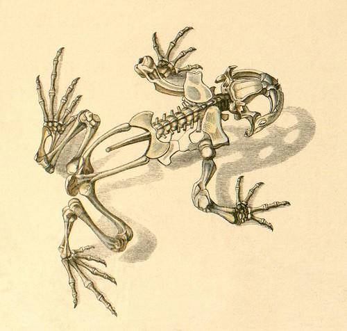 Frog skeleton b