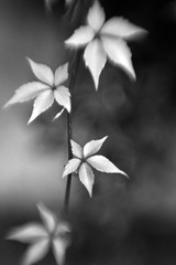 Hawaii Ivy (F l e u r) Tags: bw berlin nature leaves lensbaby germany ivy tiergarten
