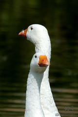 IMG_5236 (Francita aka norushpics) Tags: nature geese photo image picture nederland thenetherlands goose gans ganzen waterbirds hoofddorp noordholland haarlemmermeer leenderbos francitarijhiner norushpics