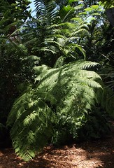 Giant Fern Fronds (Key West Wedding Photography) Tags: flowers flower gardens garden florida secret nancy bloom keywest cayobo blooms secrets secretgarden forrester helenbo secretgardens nancyssecretgarden namcyforresterssecretgarden nancyforrester