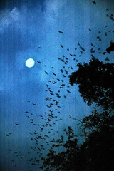 Exodus (gatorgalpics) Tags: universityofflorida explore 180 bats iso320 bathouse awesomesight grandbatexodus brazilianfreetailedbattadaridabrasiliensis canflyatmorethan25mph formcoloniesfrom5020000 acrossfromlakealice southeasternbatmyotisaustroriparius primarypredatorofnightflyinginsects thisbathousewasconstructedontheuniversityoffloridacampusingainesvillein1991andnowhousesover100000 eachnightthefreetailedbatsinthisonecolonyeatabout1020millioninsects nursingmothersareknowntoeatupto125oftheirbodyweightininsectseachnight thesebatsarelivinginastructurecreatedspecificallyforthembytheuniversityoffloridaandtheuniversityathleticassociationandnowprovidefreepestcontrolfortheuniversityandgainesville thisisthelargestoccupiedbathouseinnorthamericaandperhapstheworld photocontestcog09 appreciationandconservationofnature caringforourcommunity