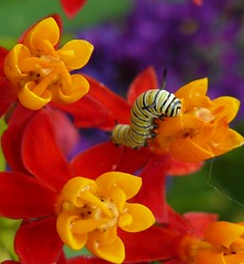 Monarch Caterpillar (Canicuss) Tags: flowers red orange white black macro yellow festival closeup butterfly insect purple bright bokeh stripes vivid lepidoptera caterpillar missouri monarch powellgardens flickrsbest mywinners mexicanmilkweed platinumheartaward artlegacy goldstaraward canicuss pgbutterflycontest09 elmmissouri