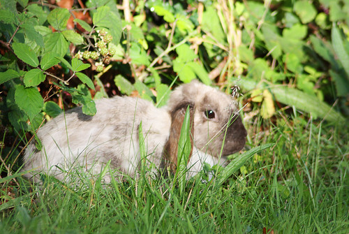 Our neighbour's rabbit