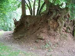racines de chêne