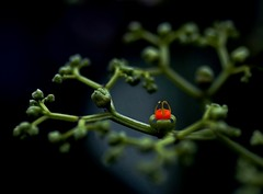 ~(_|_)~ (linh.ngan) Tags: summer orange flower macro travelling green nature closeup work dof vivid traveling bej impressedbeauty mocchau alemdagqualityonlyclub alemdaggoldenaward vietbestphoto