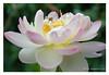 DSCF0647 (Andrea Gazzarrini Photo) Tags: flower fiore aquaticplants nelumbo nelumbium fiorediloto pianteacquatiche estatesummer fiordiloto flowerlotussacredlotus nelumbonuciferaflower andreagazzarrini