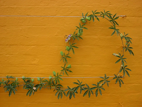 Lasso plant