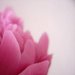 Chinese Peony (d'n'c) Tags: plant flower rollei rolleiflex toycamera peony petal  vivitar   minidigi closeuplens paeonialactiflora rolleiflexminidigi   chinesepeony      herbaceouspeony