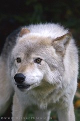 Animal Timber Wolf Canis Lupus Gray wolf (Rolf Hicker Photography) Tags: world travel canada animal animals mammal wolf photographer quebec wildlife mammals graywolf wolves parcomega naturephotography timberwolf montebello travelphotography canislupus omegapark outaouais easterncanada rolfhicker honeymooncanada hickerphotocom