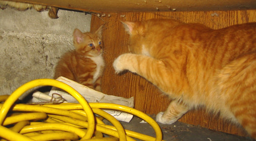 20080827 - new kitten - 165-6538 - Lemonjello, Oranjello - under desk - swatting