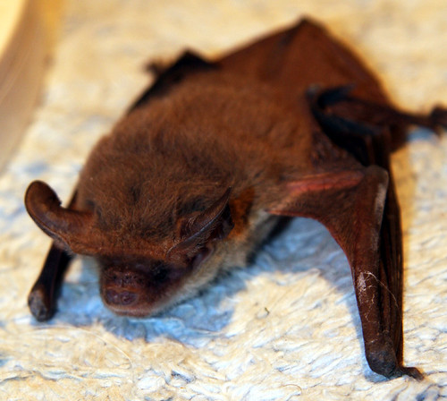 Greater Long Eared Bat