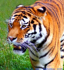 Tiger Feet...... (law_keven) Tags: england animal animals zoo furry stripes tiger kitty bigcat furryfriday essex colchester colchesterzoo amurtiger zoological