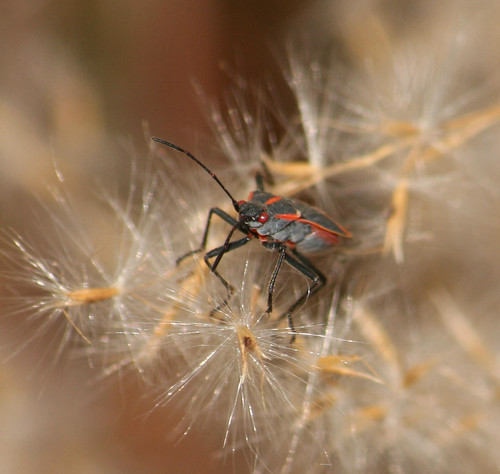 Boisea trivittata - Eastern Boxelder Bug on miscanthus flame grass