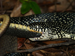 Not for the squeamish: snake eating snake (rlloyd66) Tags: usa mississippi snake snakes kingsnake snakeeating snakeeatingsnake