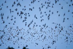 Bat exodus at Mulu caves