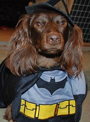 Bat-Ted (Doxieone) Tags: dog halloween costume dachshund batman halloweenfall2008set