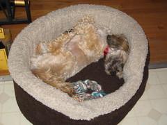 yoga_puppy