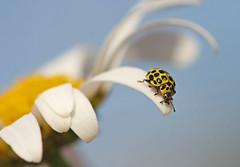 Poised on a petal (nutmeg66) Tags: garden daisy ladybird naturesfinest masterphotos 22spot impressedbeauty magicdonkeysbest fantasticinsect