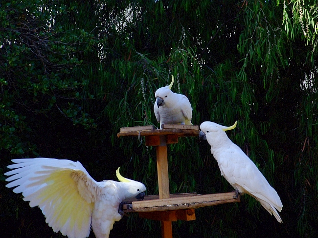 3 more cockatoos
