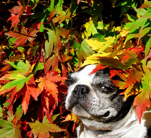 dog fall leaves