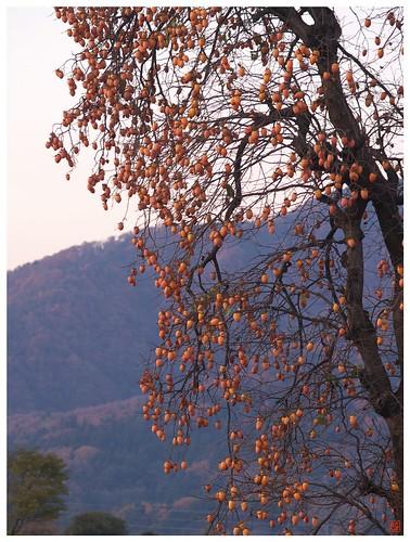 Persimmon tree 081202 #06