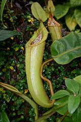 Nepenthes or Heliamphora