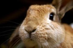 Little Pip (Sjaek) Tags: cute rabbit bunny closeup furry fluffy pip