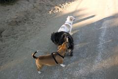 DSC_1726 (azneecs) Tags: playing dogs walking fortfunston