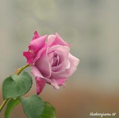 Purple Rose (bluehazyjunem) Tags: park rose purple 2008 hibiya picnik midautumn 日比谷公園 platinumheartaward