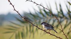 Sparrow (Avinash Tiwari) Tags: wild india bird nature nikon bokeh sparrow thorns d40