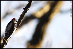 Hairy Woodpecker (/Sawyer/) Tags: bird closeup outside woodpecker nikon tokina d200 nikkor 80200mm hairywoodpecker kenko nikond200 nikkor80200mm 2xtelepluspro300 nikoned