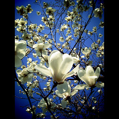 Magnolia blooming-17/03/2006 (shotam) Tags: blue white flower explore magnolia 365 ricoh 2009 capliogx gx    38365 pentacom calio toycamera34plugin photobacklife 9981