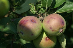 Hail injury to apple fruit showing cuts and bruises about one week after hail event. Photo courtesy of Alan R. Biggs, West Virginia University.