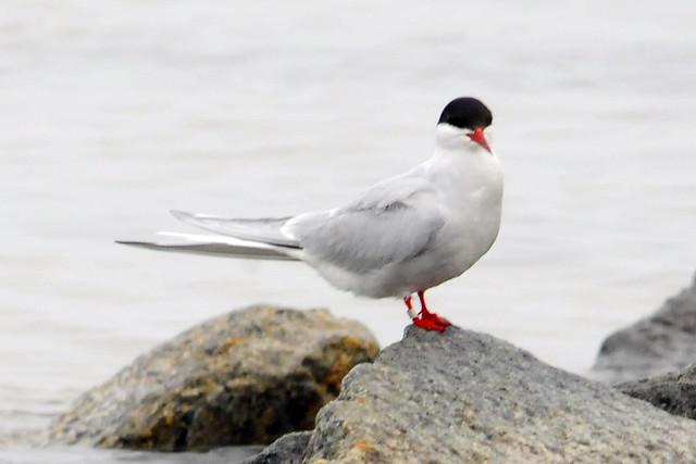 arctic tern 2011